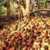 Le Cameroun à l'instar de la Côte d'Ivoire, le Ghana et le Nigeria, pourrait améliorer le rendement du cacao pour 38 000 tonnes par an, grâce aux écoles paysannes